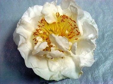 Camellias Beginning With H American Camellia Society